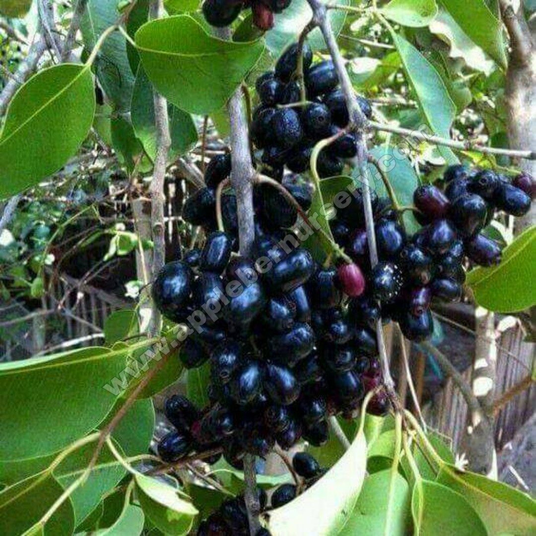 Black Jamun Plant