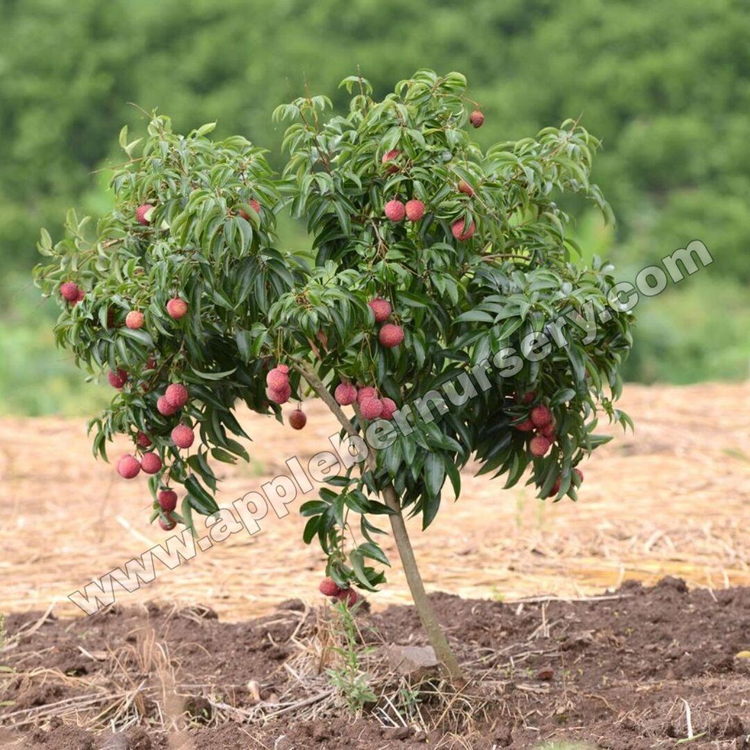 Chinna 3 Litchi Plants