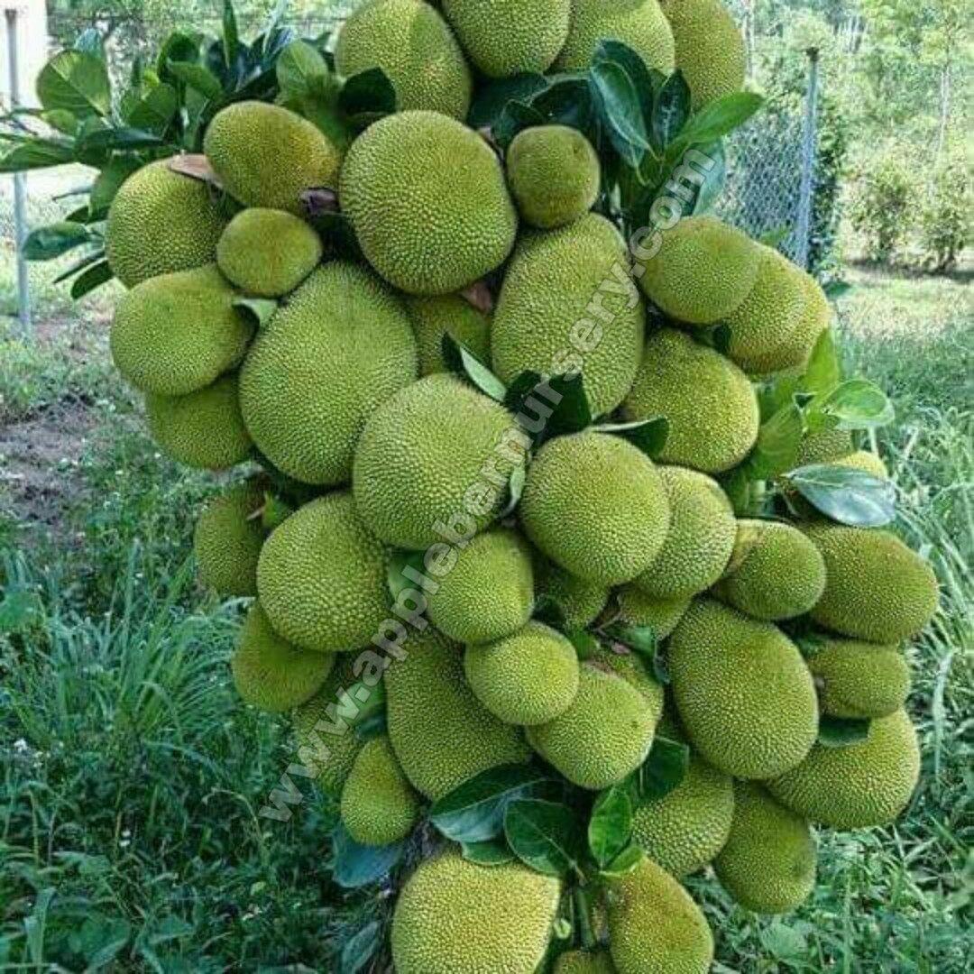 Jackfruit Plants