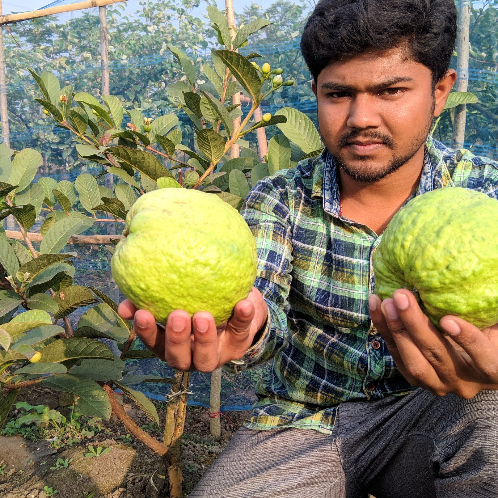 thai super guava plant