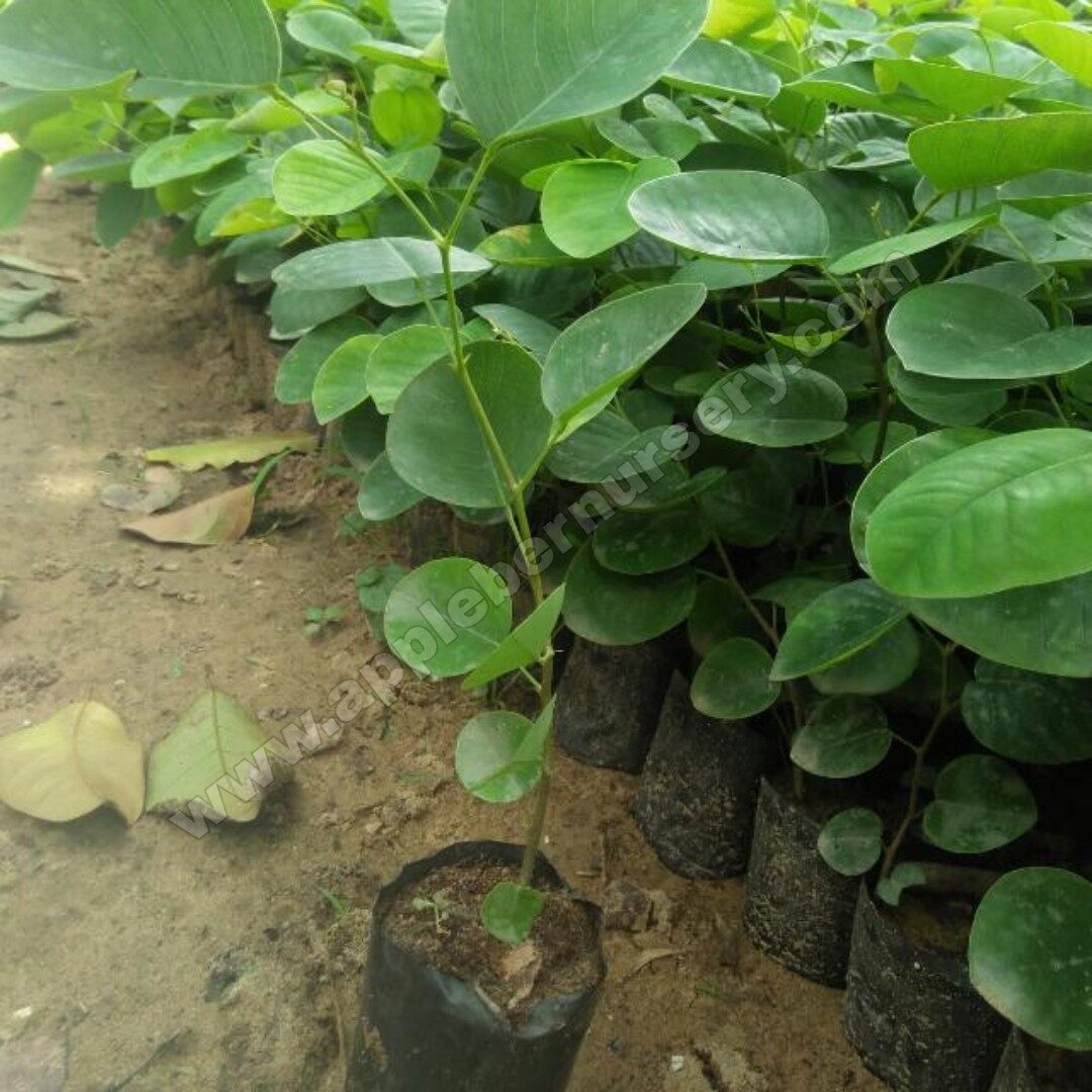 Red Sandalwood Plants