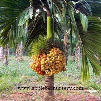 Supari Plant