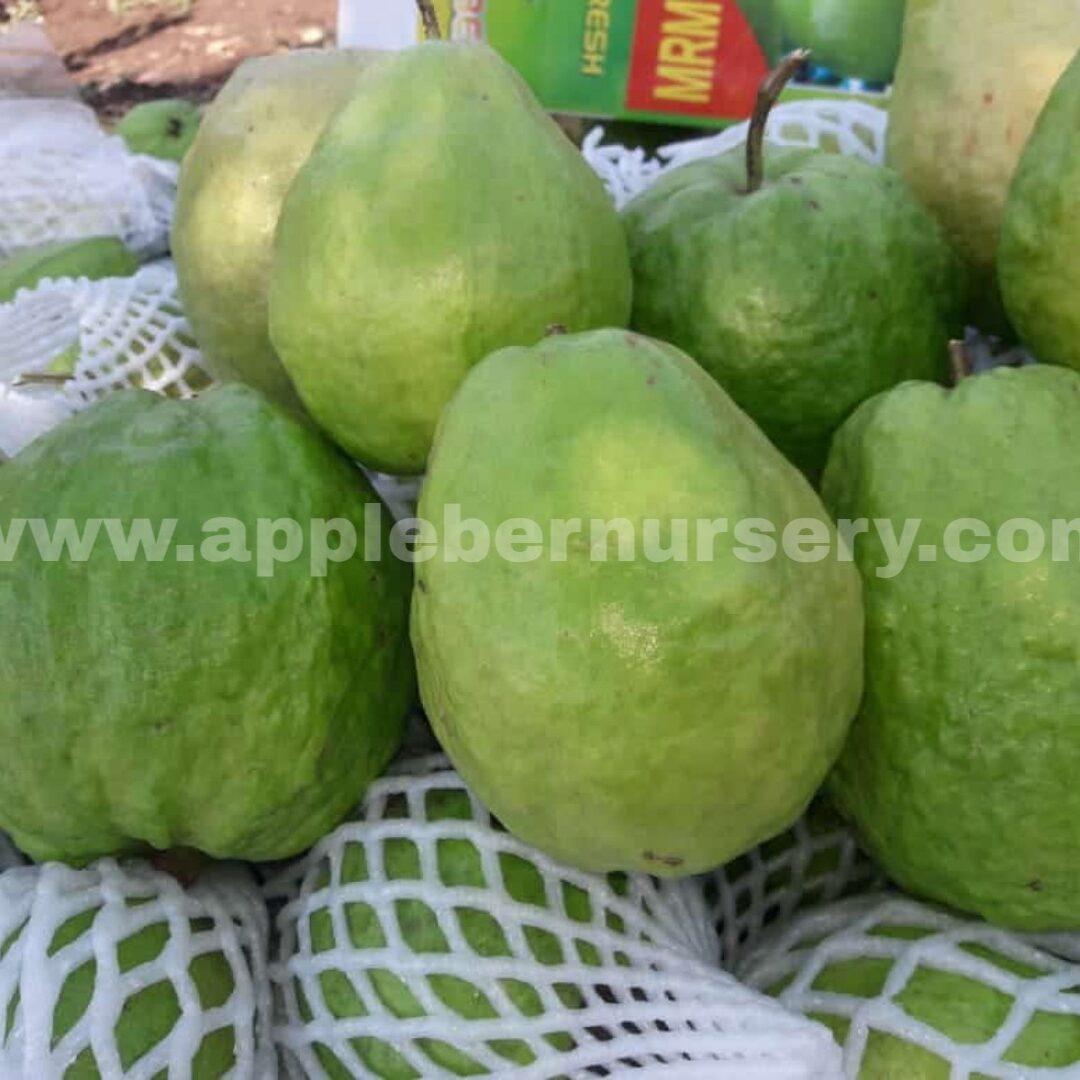 Taiwan Guava Tree