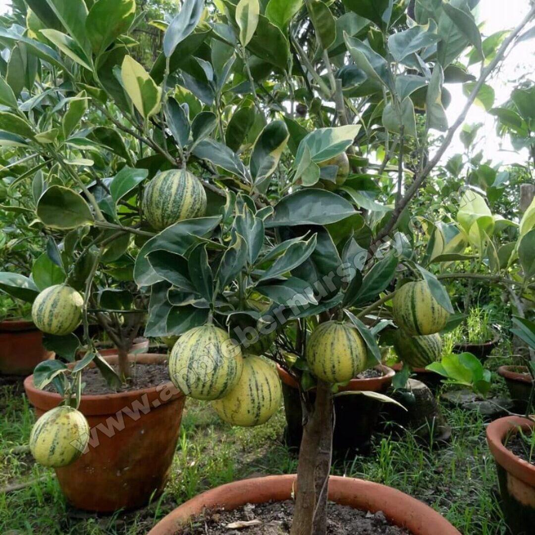 Verigated Lemon Plant